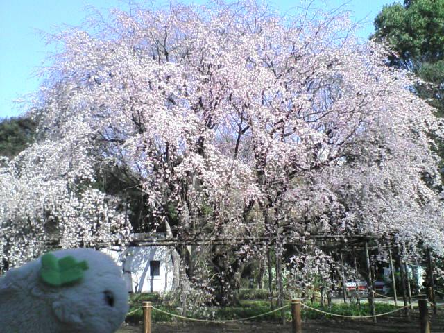 """しだれ桜""""六義園"""""""