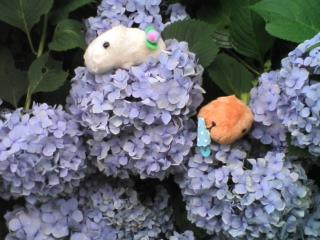 カピバラさんと'紫陽花'散歩